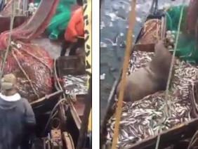 Quăng lưới bắt cá thu về một con sư tử biển 3 tạ